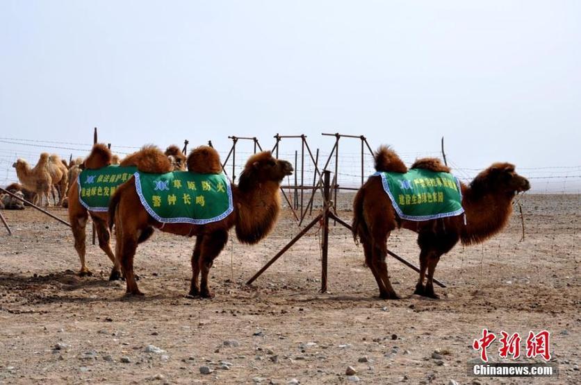 """甘肃草原出普法新招 骆驼和羊扮普法""""宣传员"""""""